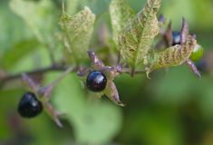 Berry atropa belladonna macro background. Nature Royalty Free Stock Photography