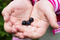 Berry bilberry in children`s palms royalty free stock images