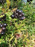 Berry, black ash royalty free stock photo