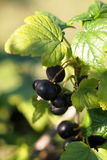 Berry black currant. On a branch Royalty Free Stock Photo