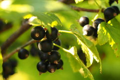 Berry black currant. On a branch Stock Photo