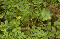 Berry, blueberry, blackberry. Berries on green bush, berries in forest stock images
