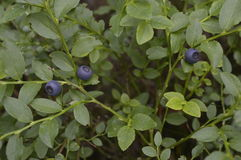 Berry, blueberry, blackberry. Berries on green bush, berries in forest stock photos
