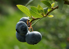 The berry of blueberry on bush 1 Stock Photos