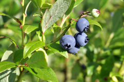 The berry of blueberry on bush Royalty Free Stock Image