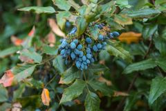 The  blueberry on bush. The berry of blueberry on bush Royalty Free Stock Image