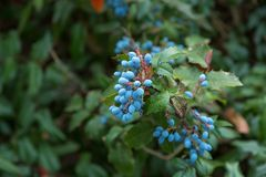 The  blueberry on bush. The berry of blueberry on bush Stock Image