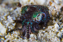 Berry bobtail squid Stock Photo