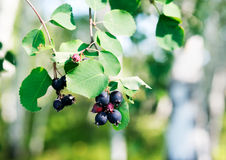 Berry branch over blurry background Royalty Free Stock Photo
