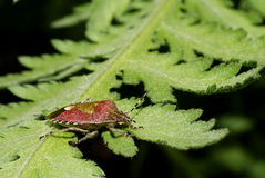 Berry bug  dolycoris baccarum Stock Images