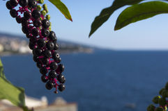 Berry bunch. Bunch of black berries with the Adriatic sea on the background Royalty Free Stock Photo