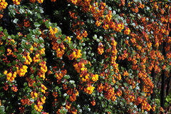 Berry Bush. Orange berry's growing on Green holly bush Royalty Free Stock Photography