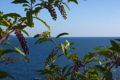 Berry bush. Bush of black berries with the Adriatic sea on the background Stock Photography