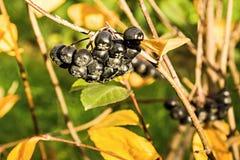 Berry bush of a black mountain ash Royalty Free Stock Image