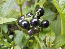 Berry Bush Nature Black Garden fotografia stock