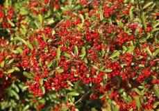 Berry bush near Evzonoi. Greece.  stock images