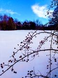 Berry bush in snow royalty free stock images