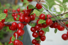 Berry cherry on branch Stock Photography