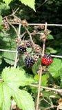 Berry close up Stock Image