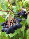 Berry Cluster blu fotografie stock