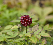Berry Cluster rosso immagine stock