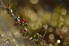 Berry Cluster rosso fotografie stock libere da diritti
