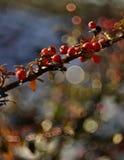 Berry Cluster rosso fotografia stock