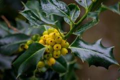 Berry Clusters amarelo Fotos de Stock Royalty Free