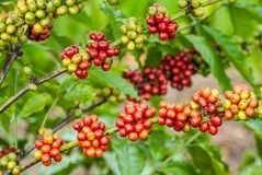 Berry Coffee Lizenzfreies Stockfoto