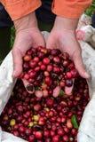 Berry Coffee vermelho Fotos de Stock Royalty Free
