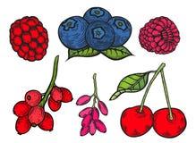Berry color set. Berry color Hand drawn vector set. Fruit botany illustration. Berries engraving doodle sketch etch line. Currant, raspberry, blueberry, cherry vector illustration