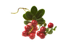 Berry cowberry Stock Photography