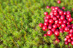 Berry cowberry and moss. In north forest Royalty Free Stock Photos
