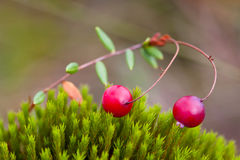 Berry cranberries and moss Royalty Free Stock Photography