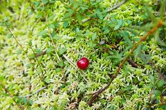 Ripe berries of cranberries in moss royalty free stock photography