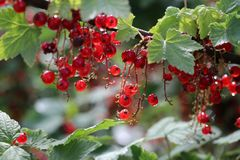 Berry, Currant, Fruit, Plant royalty free stock images
