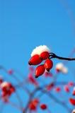 Berry of dog-rose Stock Photos