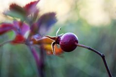 Berry in the fall royalty free stock images