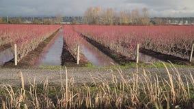 Berry Field Flooding, agricultura, 4K UHD almacen de video