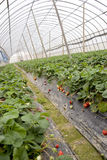 Berry field tent. Agriculture shed farm in China,there are strawberry in it Stock Photo
