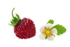 Berry and flower. Berry of wild strawberry with white flower Stock Images