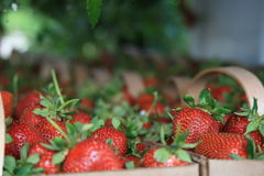 Berry Focused. Close focus on some fresh picked strawberrys for sale at a roadside stand in Concord, NC Stock Image