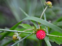 Berry of forest wild strawberry Stock Images