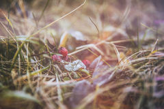 Berry and frost on the grass and leaves. In the autumn forest Stock Image
