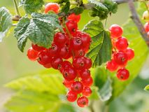 Berry, Fruit, Currant, Gooseberry stock photography