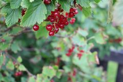 Berry, Fruit, Currant, Plant royalty free stock photos