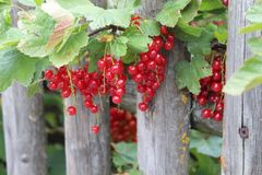 Berry, Fruit, Currant, Plant royalty free stock image