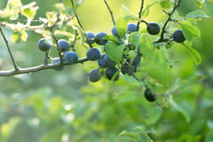 Berry fruit (forest fruit) Stock Image