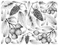Berry Fruit, Illustratiebehang van Hand Getrokken Schets van Loganbessen en Magenta Lilly Pilly, Magenta Kers of Syzygie stock illustratie