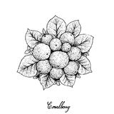 Hand Drawn of Ripe Coralberries on White Background Royalty Free Stock Photo